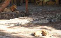 Escaped lion mauls zoo workers in southeastern Turkey