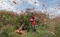 UN warns of food security after desert locust catastrophe in horn of Africa